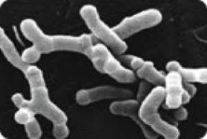 Bifidobacterium bifidum36-38