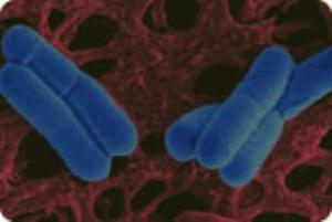 Lactobacillus salivarius33