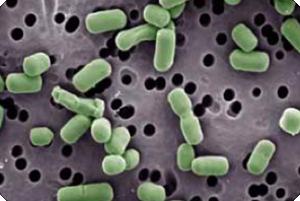 Lactobacillus brevis30-32