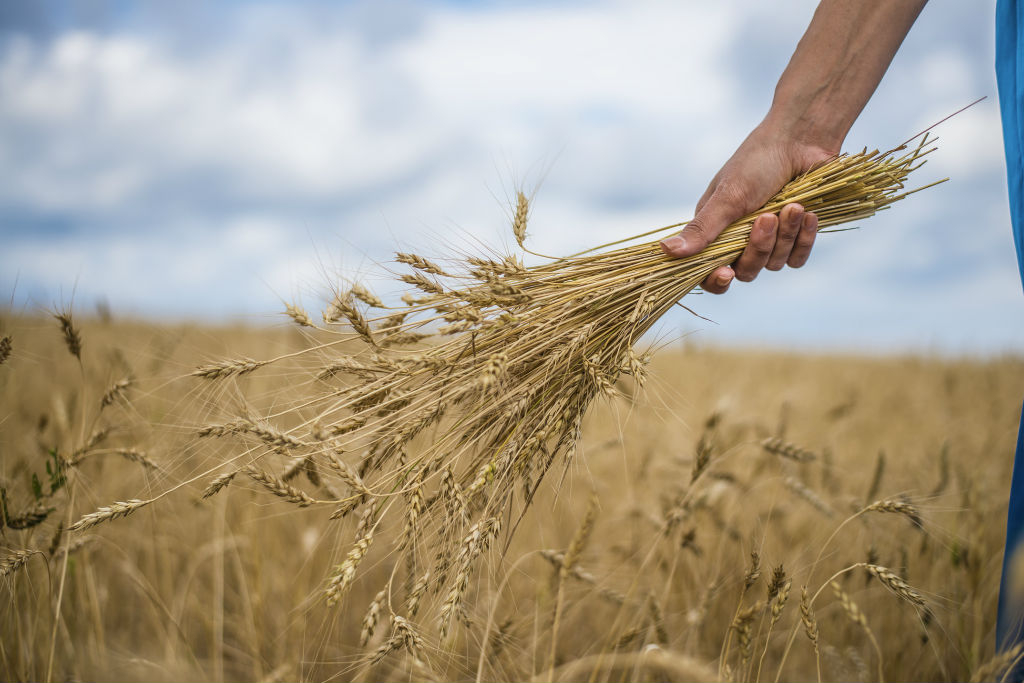 Holding Wheat Grains