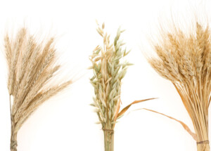 Cereal grains contain lectins