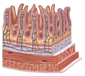 Cross Section of Intestinal Villi