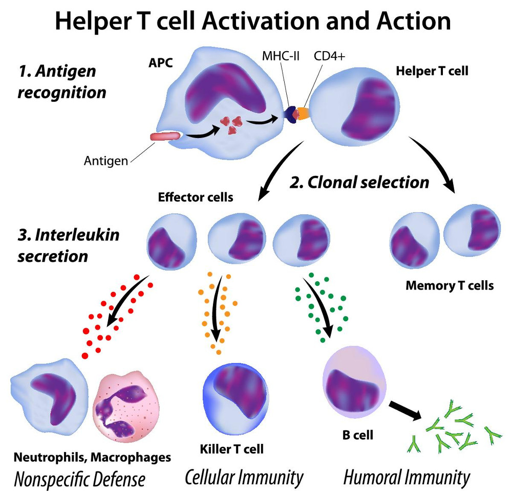 Helper T-Cell Activation